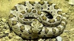 serpiente cascabel.jpg